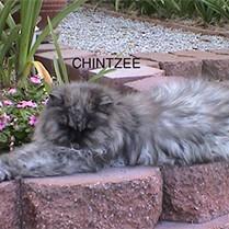 Chintzee_2